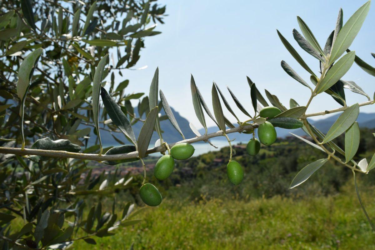 Monte Isola: dall'ulivo all'olio